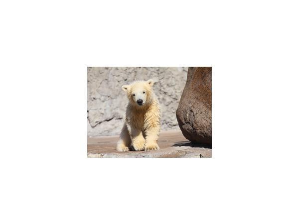 Новорожденный белый медвежонок впервые вышел к публике