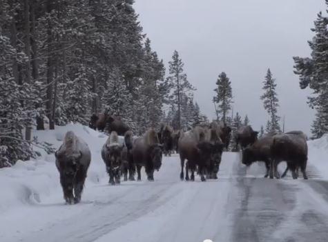 Источник: скриншот официального видео Йеллоустонского парка