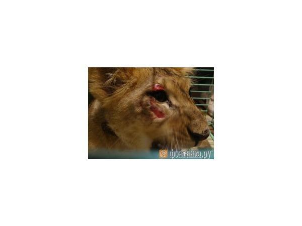 Братья Запашные обратились в суд из-за львенка, привезенного из Петербурга на «Невском экспрессе»