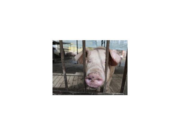 Санкции излечили китайских свиней