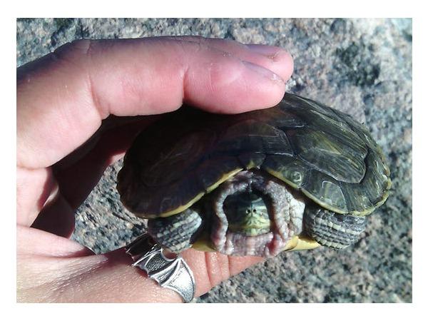 Читатели «Фонтанки» спасли черепаху из петербургской реки