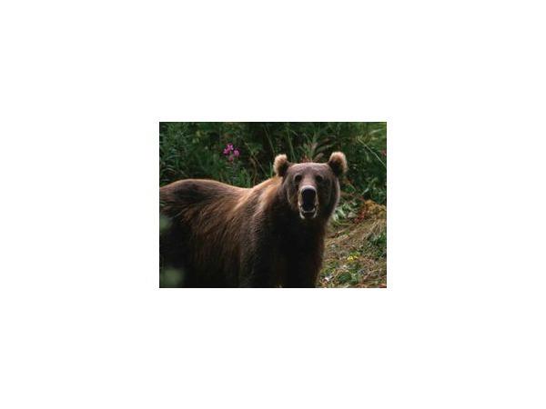Медведи в окрестностях города Стрежевого вызывают обеспокоенность местных жителей, в особенности после трагического случая 22 сентября 2014 года