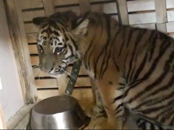 В Нижневартовске полицейские спасли амурского тигренка