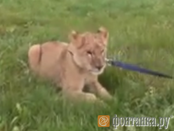 По Купчино гуляет лев