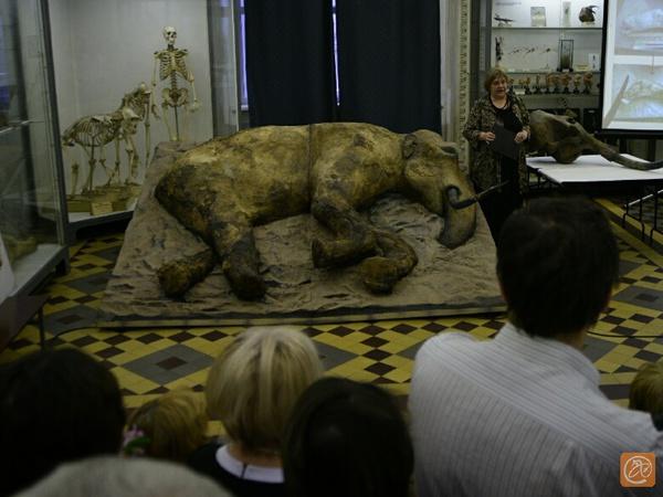 """В Зоологическом музее временно """"прописался"""" мамонт Женя"""