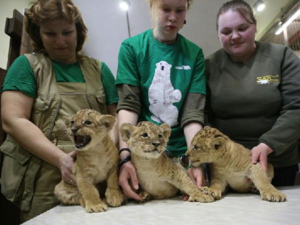 В Ленинградском зоопарке новорожденных львят впервые показали публике