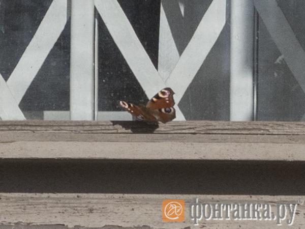 В Петербурге появились первые в этом году бабочки