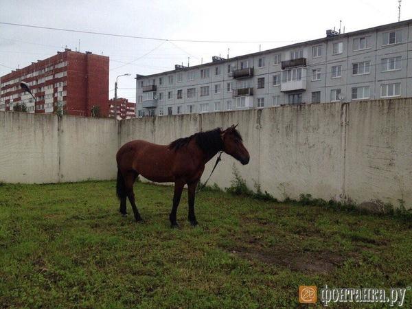 В отдел полиции в Красном Селе подбросили лошадь