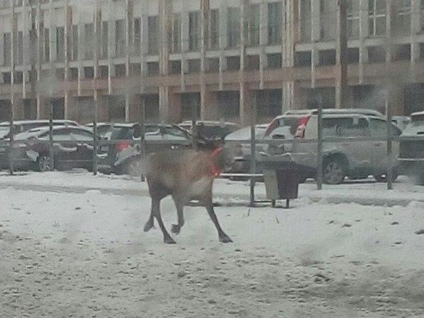 На проспекте Гагарина поймали оленя