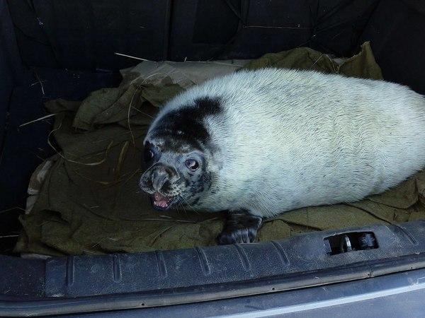 Служба безопасности ЛАЭС задержала тюленей-нарушителей