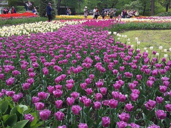 В ЦПКиО дебютировали черные тюльпаны