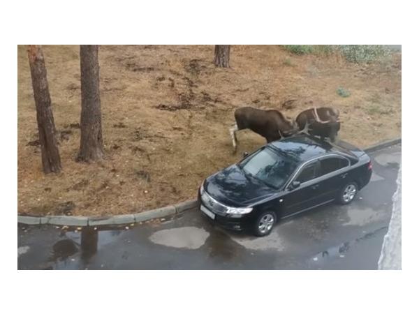 В Пензенской области припаркованный автомобиль в пылу драки повредили... лоси