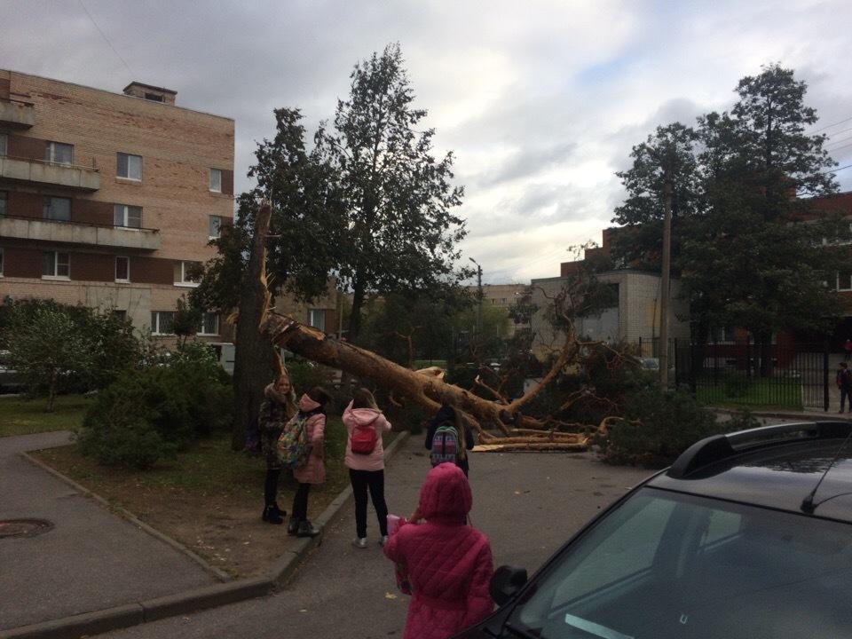 Дмитрий Баженов: В Сестрорецке у МФЦ упала сосна, автолюбителей успели предупредить.