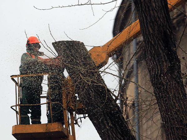 Работы по сносу деревьев на набережной канала Грибоедова / автор фото - Павел Каравашкин/«Фонтанка.ру»