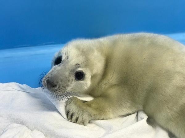На берегу Финского залива нашли первого в 2019 году тюленя-потеряшку. Это девочка, и ей всего несколько дней