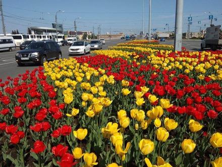 Солнце добавило Петербургу красоты. На клумбах распустились махровые тюльпаны