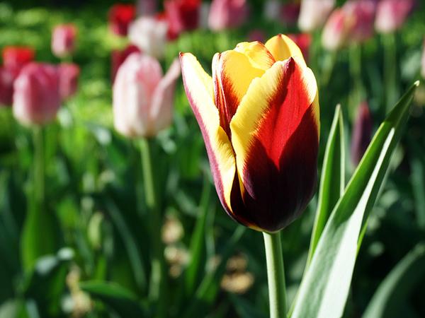 На Фестивале тюльпанов устроили урок занимательного страноведения и «привели» Геракла с апельсином