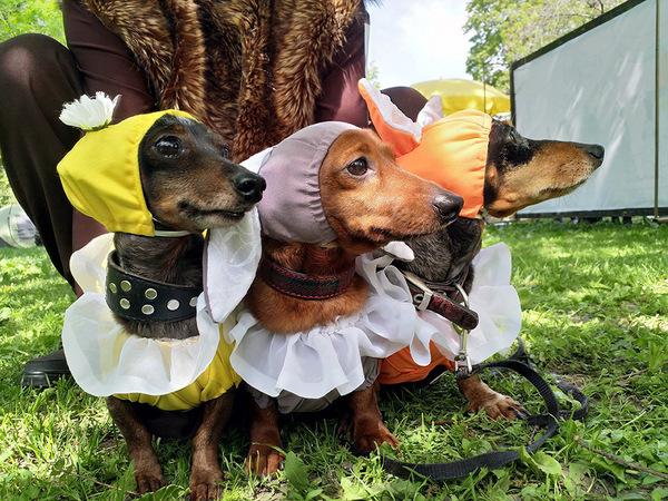 На Такс-параде наградили жертву злоумышленников и собаку-самолет