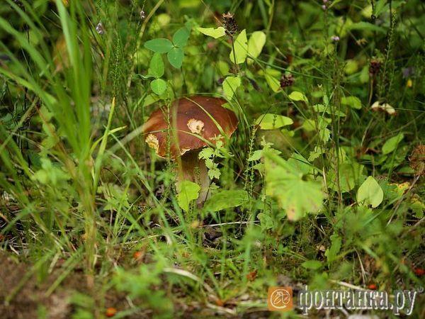 «Массовый рост грибов начнется в сентябре». «Фонтанка» составила карту грибных мест вокруг Петербурга и выяснила, чего там бояться