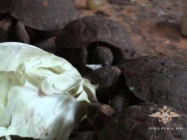 Тысячи редких черепах провезли в Россию в фуре с капустой. Полицейские их кормили, а затем вернули на родину
