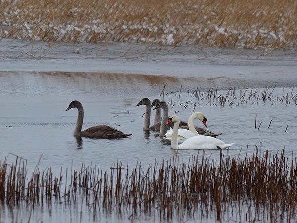 Возле дамбы показалась лебединая семья. Этим шипунам под Петербургом тепло и сытно - третий сезон подряд