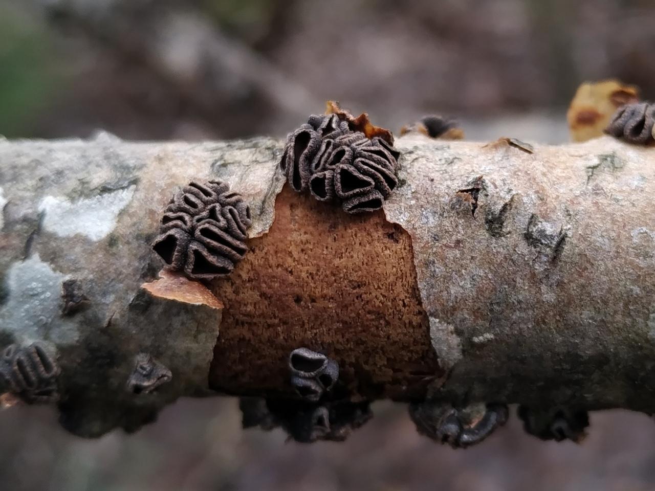 5. Энцелия пучковая (Encoelia fascicularis)